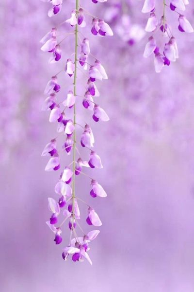 Purple & Lavender Wisteria Flowers | Flowers & Gardens | Pinterest | Wallpapers, Wisteria and ...