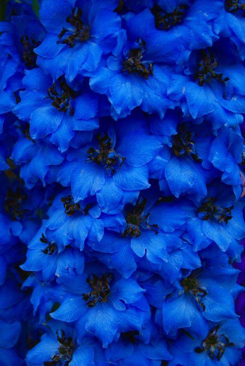 1000+ Ideas About Blue Flowers On Pinterest | Tweedia Wedding