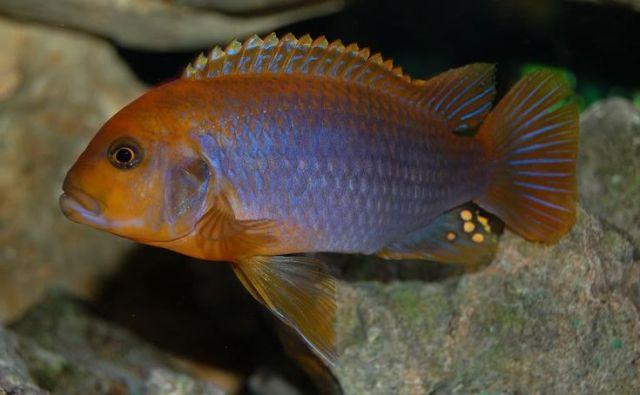 iodotropheus sprengerae rusty cichlid more fish freshwater fish