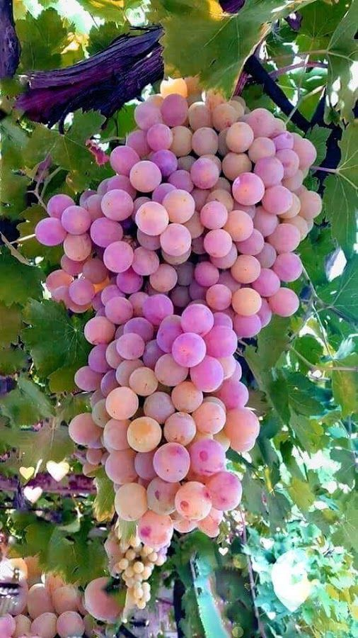 17+ Images About Grapes On Vines On Pinterest | Vineyard, Iran And