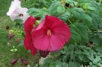 Dinner Plate Size Hibiscus | Garden Art | Pinterest ...
