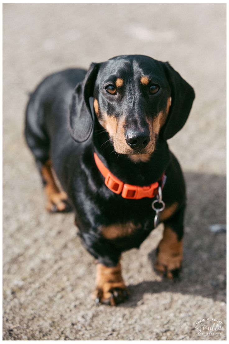 Fall Wallpaper Dog Weenie 25 Best Ideas About Black And Tan Dachshund On Pinterest