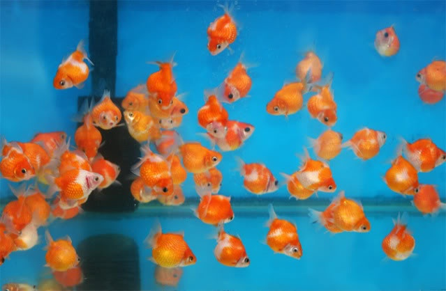 Cute Baby Pets Live Wallpaper Download Fancy Goldfish Fishies Pinterest Babies And Goldfish