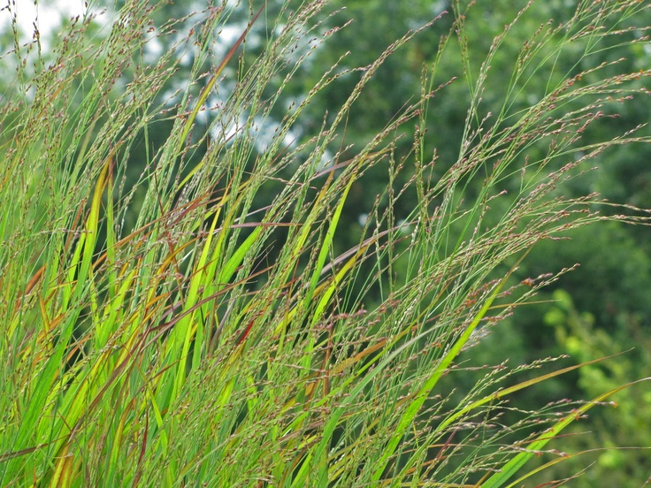 ornamental native grasses in grouping of pots