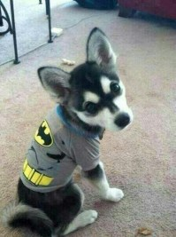 Liam and Danielle's dog, Loki, dressed up in a Batman ...