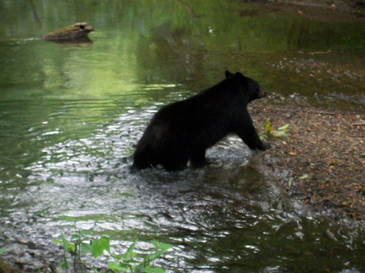 Fall In The Smoky Mountains Wallpaper Bear Cub Playing In The River In Cades Cove Places I