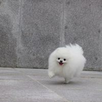 25+ best ideas about White pomeranian on Pinterest | White ...