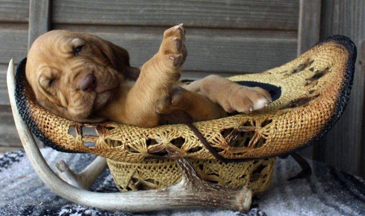 Babies Wallpaper Cute 4 Week Old Light Skinned Red Bloodhound Puppy Boerner S