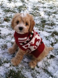 Ugly Christmas sweater Max the cockapoo   My puppy doggies ...