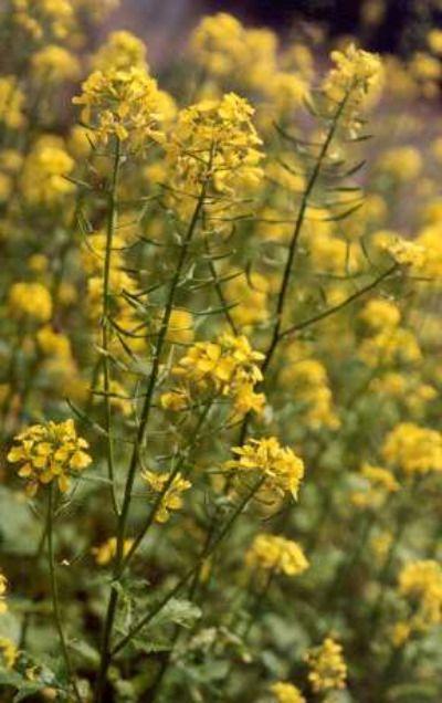 1000+ Ideas About Mustard Plant On Pinterest   Mustard Seed Plant