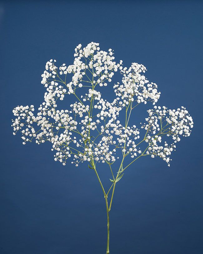 Gyp Flowers Baby's Breath 10 Best Images About Gypsophila Flower On Pinterest
