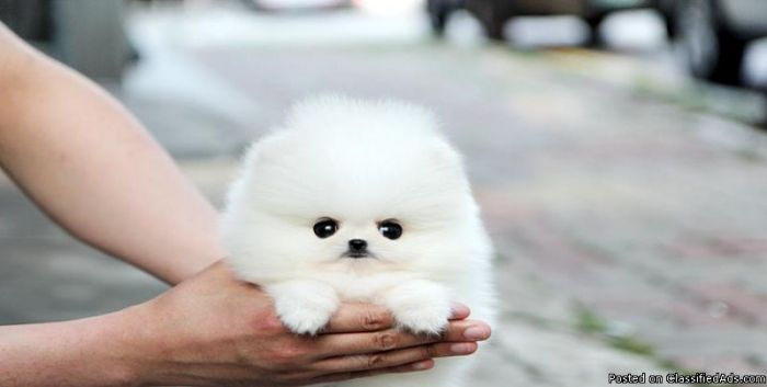 Small Cute Puppy Wallpapers Teacup Pomeranian New Favorite Animal Too Cute