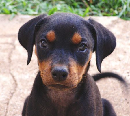 Alone Cute Baby Wallpaper Adorable Doberman Pinscher Puppies For More Cute Puppies