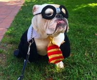 17 Best ideas about Bulldog Costume on Pinterest | Baby ...