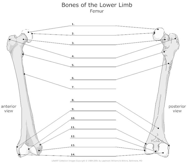 femur diagram quiz
