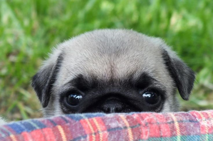 Cute Wallpapers Of Dogs And Puppies Pug Wallpaper Screensaver Background Pug Wallpaper