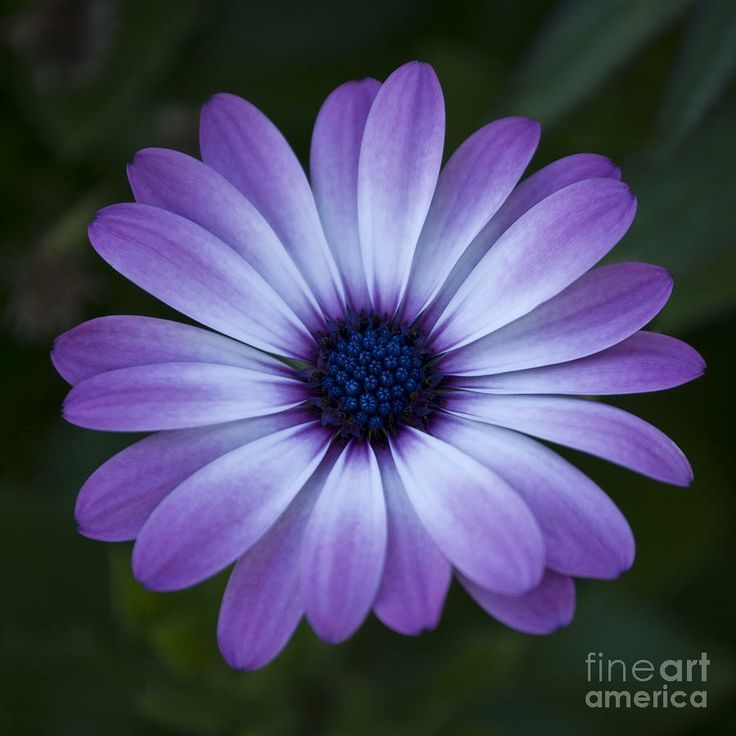 Gerbera Flower Bengali Meaning 1000+ Ideas About Daisy Tattoo Designs On Pinterest
