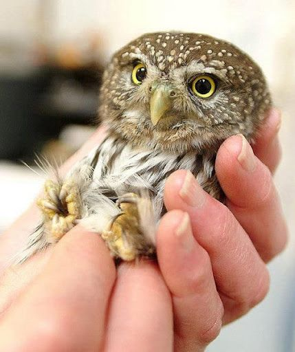 Cute Baby Pets Live Wallpaper Download 1000 Ideas About Cute Owl Photo On Pinterest Owl Photos