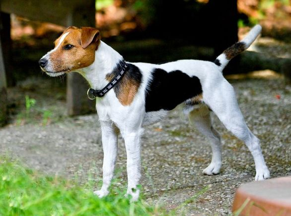 Jack Russell Puppy Care