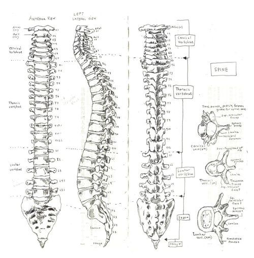 diagram of human spine with nerves