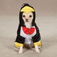 63 best images about Chihuahua fan on Pinterest ...