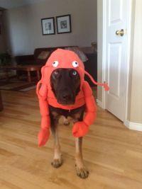 Lobster large dog costume   Halloween   Pinterest ...