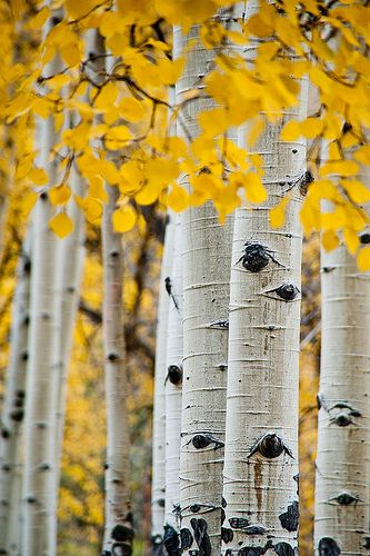 Fall Aspens Wallpaper 17 Best Images About Aspen Tree Eyes On Pinterest Trees