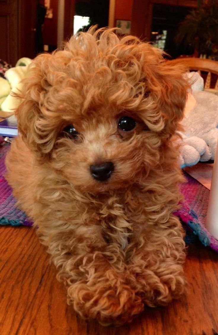 medium poodle puppies for sale