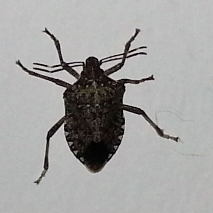 1000+ Ideas About Stink Bugs In House On Pinterest   Stink Bug