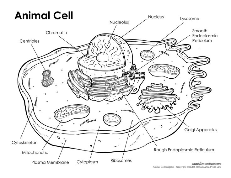 printable cell wall diagram