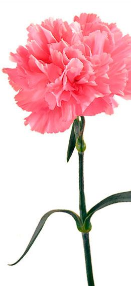 Carnation Flower Significance 17 Best Images About Flowers And Their Meaning On