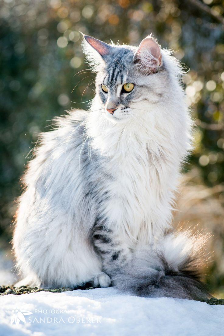 Cute Little Gray Cat For Wallpaper 25 Best Ideas About Maine Coon Kittens On Pinterest