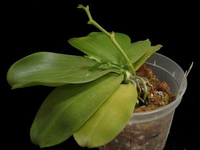 1000+ Images About Orchid Care And Repotting On Pinterest | Jewel