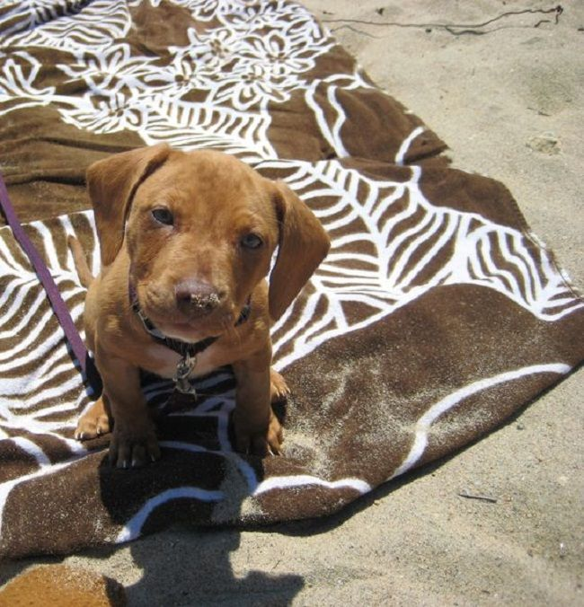 pitbull dachshund mix puppies for sale