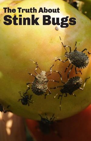 17 Best Ideas About Stink Bugs On Pinterest   Stink Bug Trap