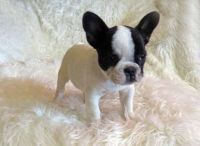 25+ best ideas about Teacup french bulldogs on Pinterest ...