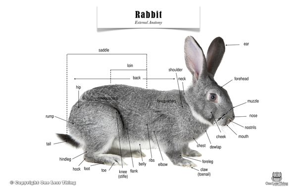 bunny diagram