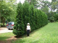 57 best images about Cedar (arborvitae) Hedges on ...