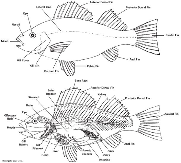 perch dissection diagram