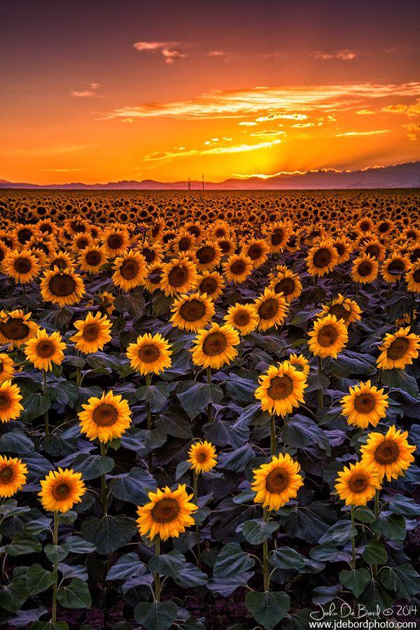 Fall Desktop Wallpaper With Sunflowers Dusk Sunflower Field Sunset Just East Of Denver