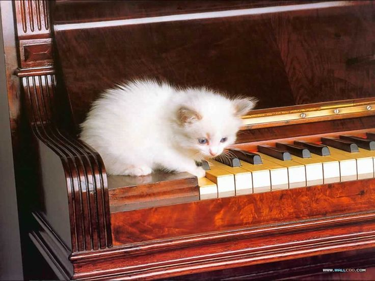 Cute Cats And Kittens Wallpaper Hd Cat Themes Cute White Kitten Playing A Note On The Piano