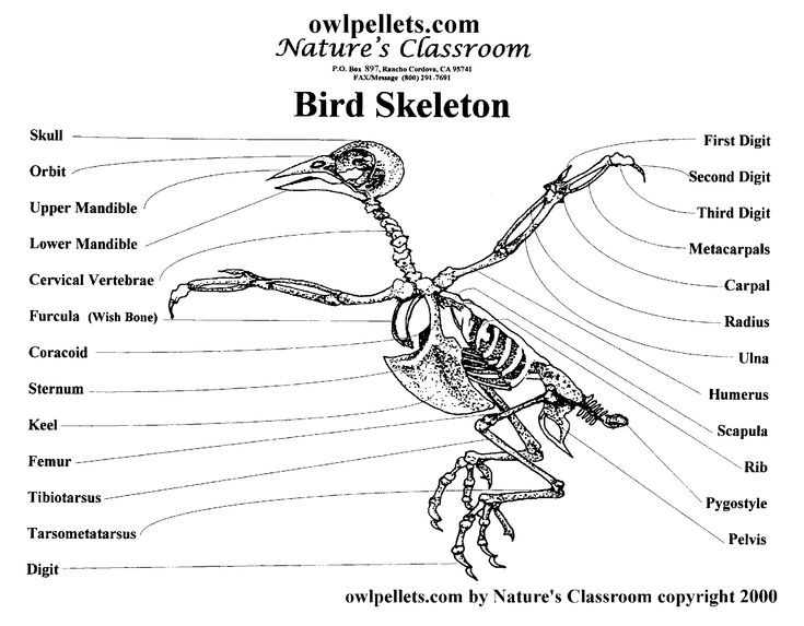 pigeon skeleton diagram animal drawing pinterest