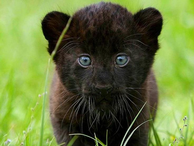 Animal Print Desktop Wallpaper Jugando Pantera Beb 233 O Baby Panther Belleza Animal