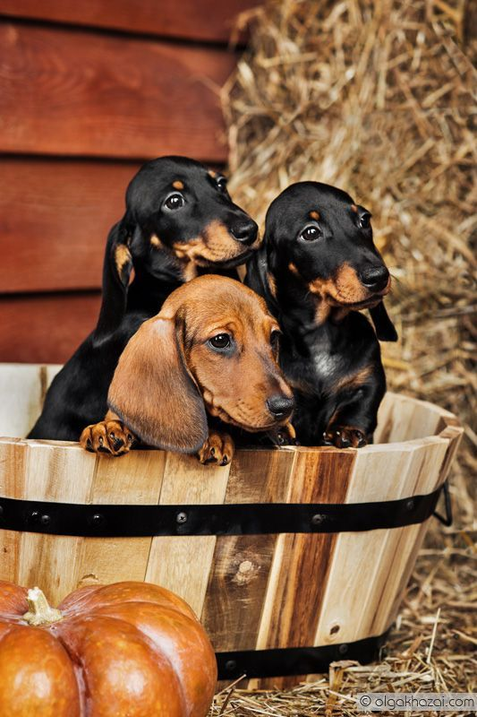 Fall Wallpaper Dog Weenie 17 Best Images About Darling Dachshunds On Pinterest