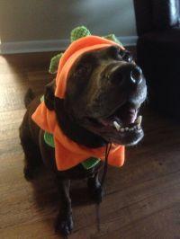 Chocolate lab dog costume pumpkin Halloween cute ...