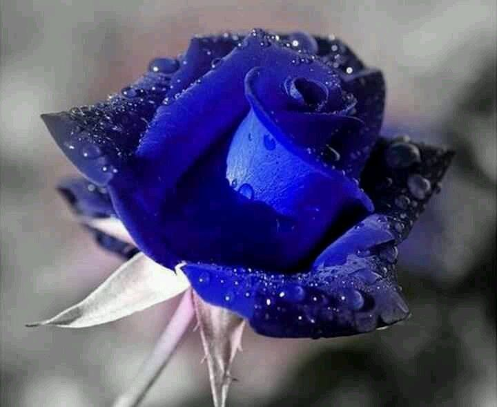 Create Own Name 3d Wallpaper Beautiful Blue Rose Flowers Blue Roses On Pinterest