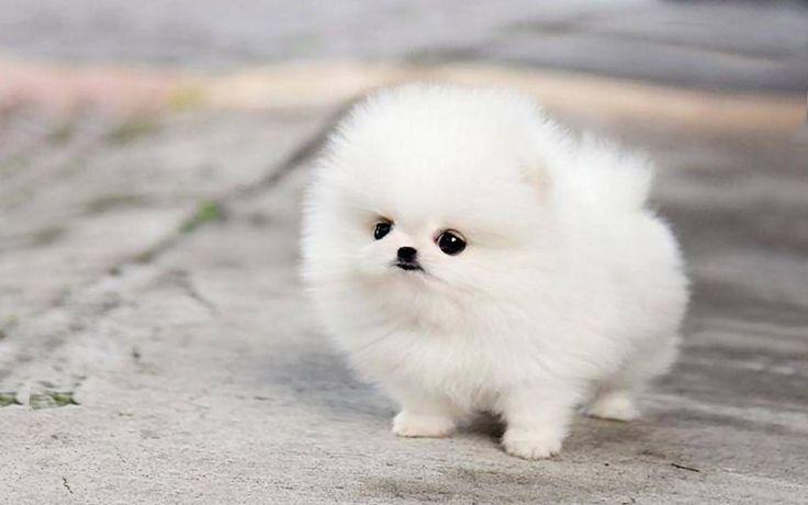 Teacup pomeranian husky puppies cute micro white wallpaper