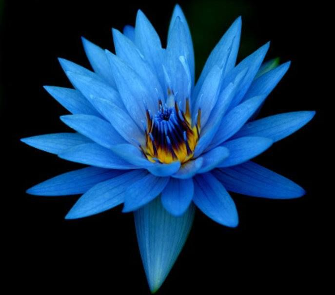 Pinterest Desktop Wallpaper Lotus Quote Las 25 Mejores Ideas Sobre Flor De Loto Azul En Pinterest