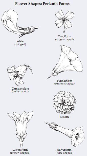 carnation flower diagram