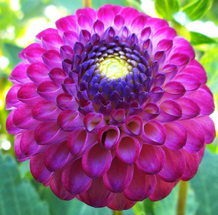 17 Best Images About Dahlias!!! On Pinterest | Gardens, Planters